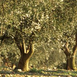 The olive grove